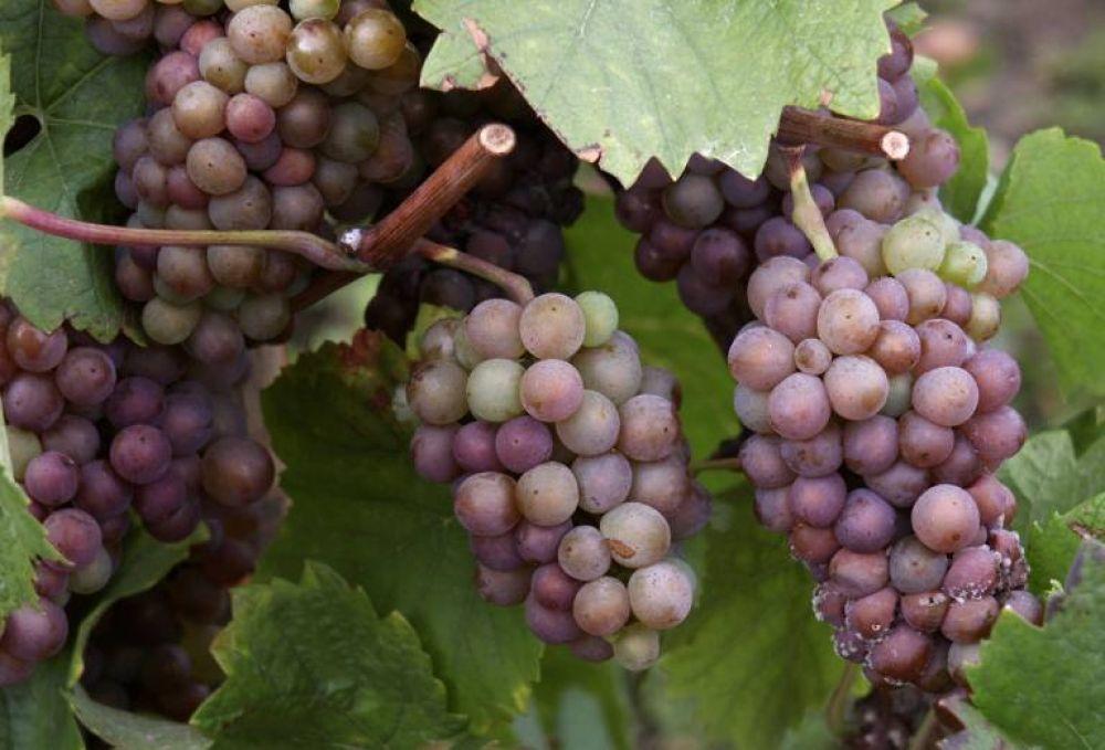 gloden vin