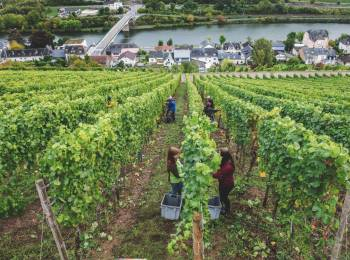 grape harvest visit moselle luxembourg