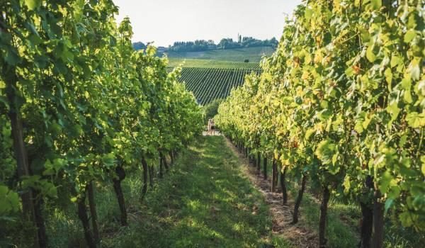 vineyards wellenstein visit moselle luxembourg